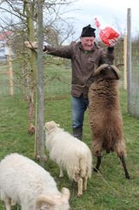 Onkel Gust ist mit seiner Schafdressurnummer völlig überfordert