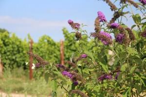 Biodiversität im Weinberg