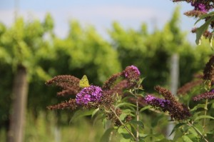 Zitronenfalterprojekt für mehr Biodiversität im Weinberg!