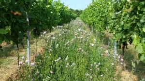 Blühender Lebensraum Weinberg