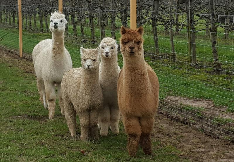 4 neugierige Alpaka Damen