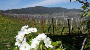 Birnenblüte im Weinberg