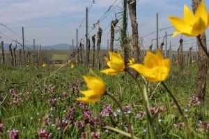 """""""Rote Liste Art"""" Tulipa Silverstris, bei unserem Vermehrungsprojekt."""