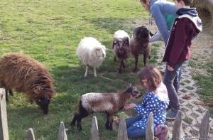 Die Schafherde wird so langsam